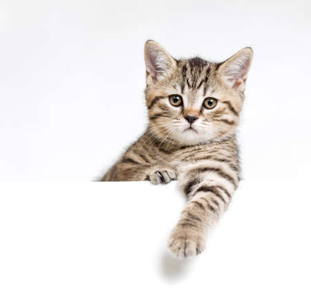 Cat or kitten isolated behind white signboard Imagens
