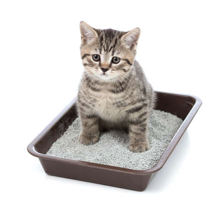 charolas: gatito o gatita en caja bandeja de aseo con la basura Foto de archivo