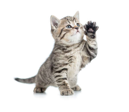 grey tabby: Scottish tabby kitten gives paw and looking up Stock Photo