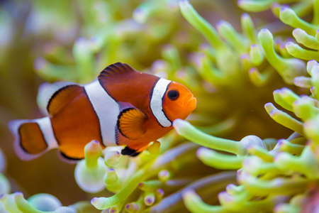 Clown fish in coral reef Stock Photo