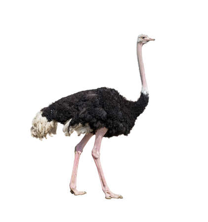 flightless bird: ostrich full length isolated on white Stock Photo