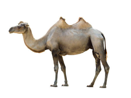 Bactrian camel isolated on white