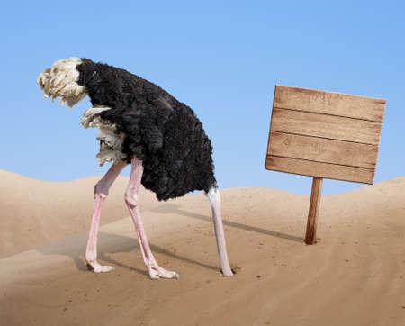 cabeza: asustado cabeza soterramiento avestruz en la arena cerca de pie de señal de madera en blanco