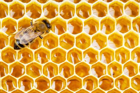 abejas panal: abeja de trabajo en las células de nido de abeja de cerca