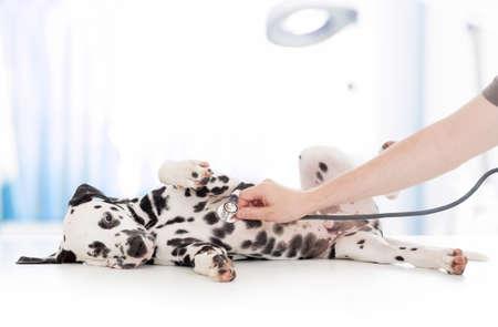 veterinario: examen perro por médico veterinario con el estetoscopio en la clínica