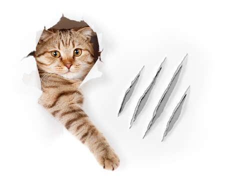 garra: Gato divertido en el agujero del papel pintado con ara�azos de garras aisladas
