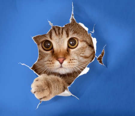 cat in blue chromakey paper hole photo