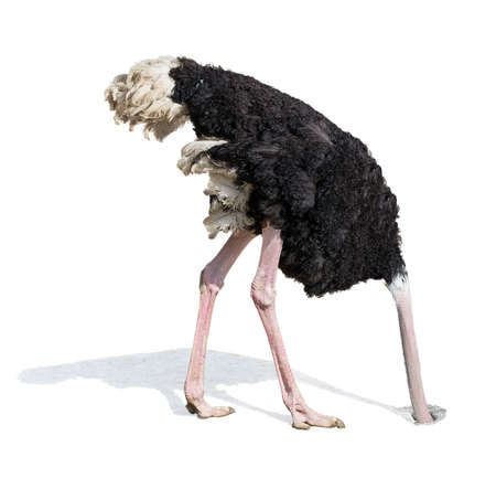 head in the sand: Ostrich burying head in sand. Ignoring problems concept.
