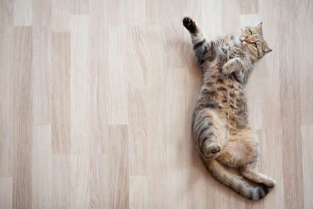 Kat liggend op de parketvloer thuis