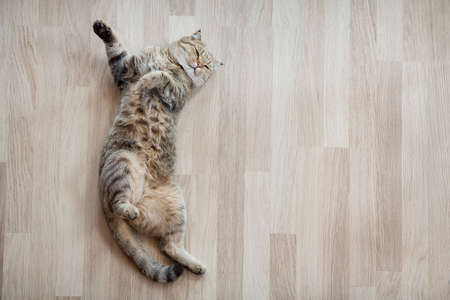 Adult cat lying on parquet floor at home