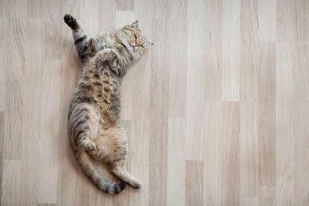 Erwachsene Katze auf Parkett zu Hause liegen Standard-Bild - 44196661