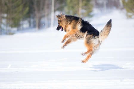 german: German shepherd dog jumping in winter