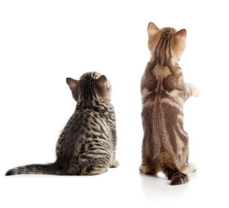 Cat back view. Two kittens sitting isolated.
