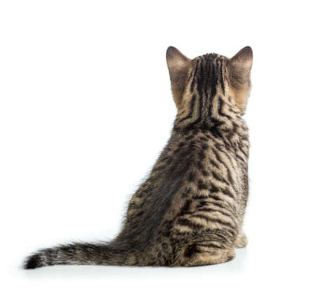 Cat back view sitting isolated