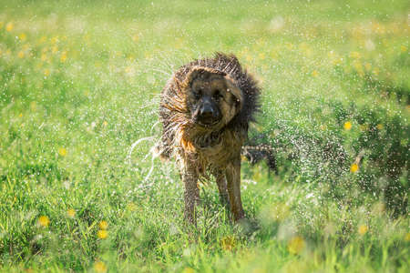 shake off: German shepherd dog shaking off water outdoor