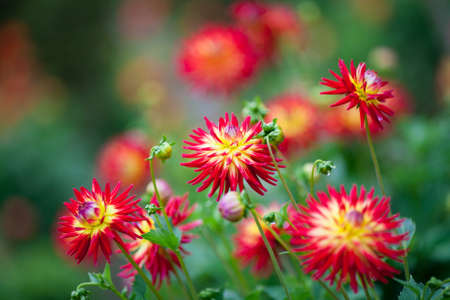 surrealistic: Dahlia red and yellow flowers in garden full bloom closeup Stock Photo