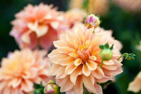 cerrar: naranja dalia y flores amarillas en el jardín de la plena floración