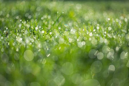 Wet green grass with dew backround