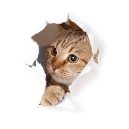torn: Funny cat in paper hole