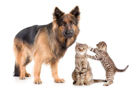 perro asustado: Shepherd dog and cat with frightened kitten