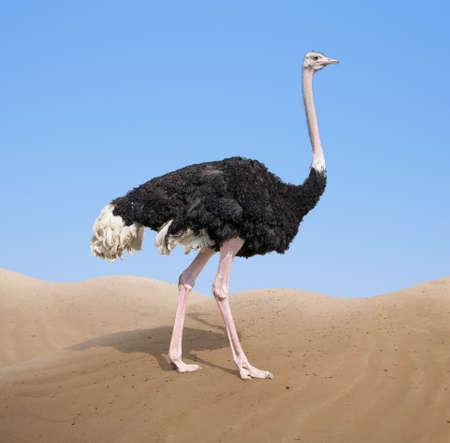 Struisvogel in de woestijn Stockfoto - 82113588