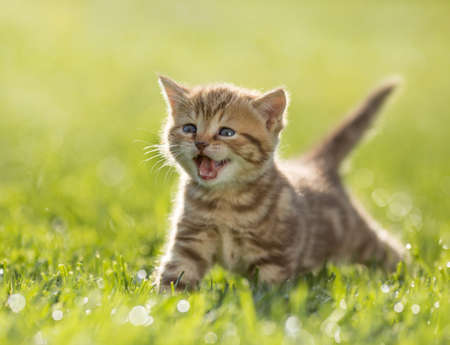 Young kitten cat meowing in the green grass