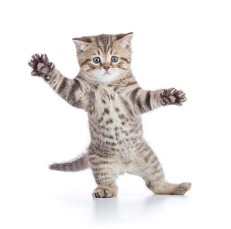 Funny kitten cat standing or dancing isolated on white