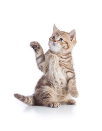Kitten or cat standing with pointing paw isolated on white Stock Photo