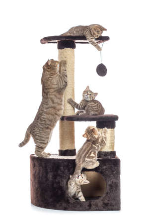 Cat tree scratching post or activity centre. Kittens with mother playing around isolated on white