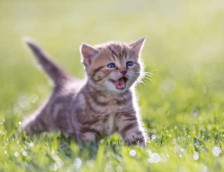 Young funny cat meowing in green grass