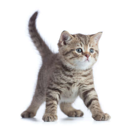 Young cat front view standing isolated
