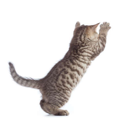 jumping cat rear view isolated