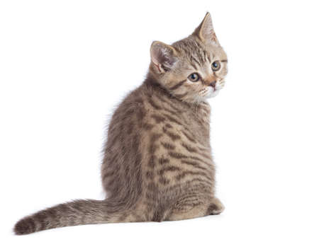 Sitting young cat full length rear view turned to camera isolated