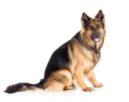 German shepherd long-haired dog sitting isolated