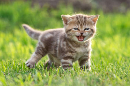 Young cute cat meowing outdoor