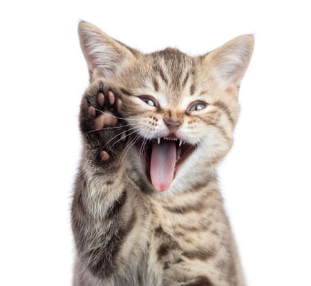 Funny cat portrait with open mouth and raised paw isolated 版權商用圖片