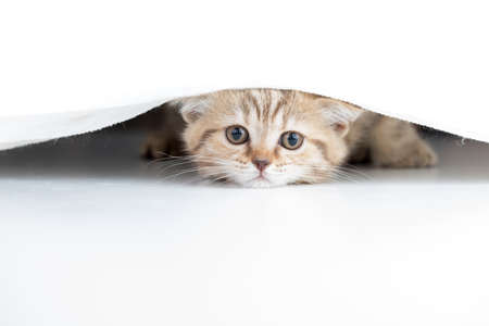 Funny cat looking from under white curtain