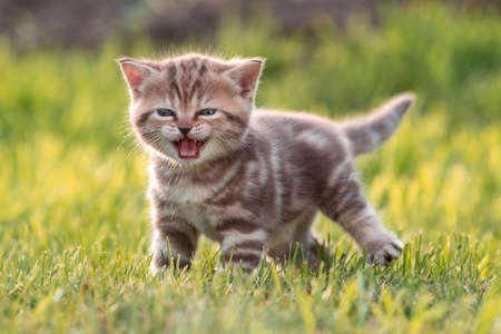 Young cute cat meowing in grass Stock Photo