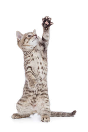 kitten or cat standing with raised paw isolated