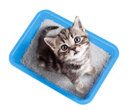 Cat top view sitting in litter box isolated