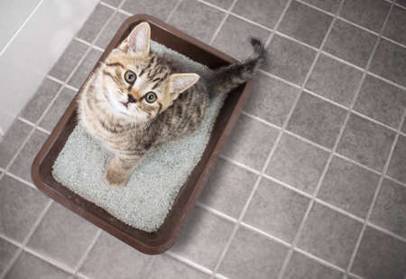Cute cat top view sitting in litter box with sand on bathroom floor Stockfoto