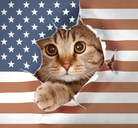 A cute cat looking up through hole in paper USA flag