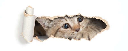 British cat looking through hole in paper isolated Standard-Bild - 104416130