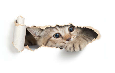 Cat looking through hole in wallpaper Stock Photo