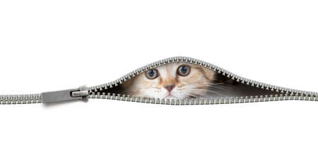 cat looking through the open zipper hole isolated on white
