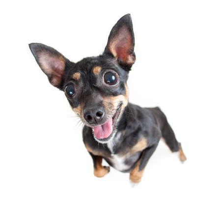 Standing black toy terrier dog top view Standard-Bild - 119270215