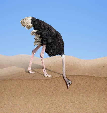 Avestruz con cabeza enterrada en arena. Foto de archivo