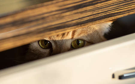 cat looking from inside slightly open drawer