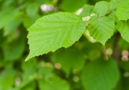 venation: Green leaf on blurred background. Closeup Stock Photo