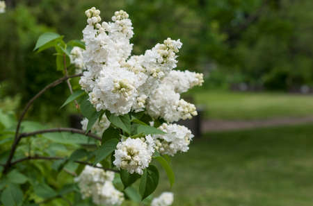 inflorescence of white lilac on blurred natural background